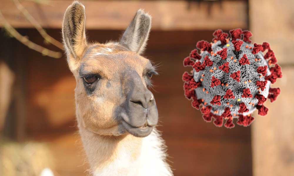 Flaş gelişme: O hayvanın antikoru Kovid-19'u etkisizleştiriyor!